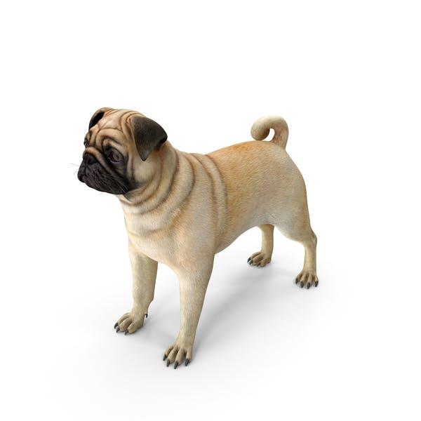 Pug Dog Neutral Pose