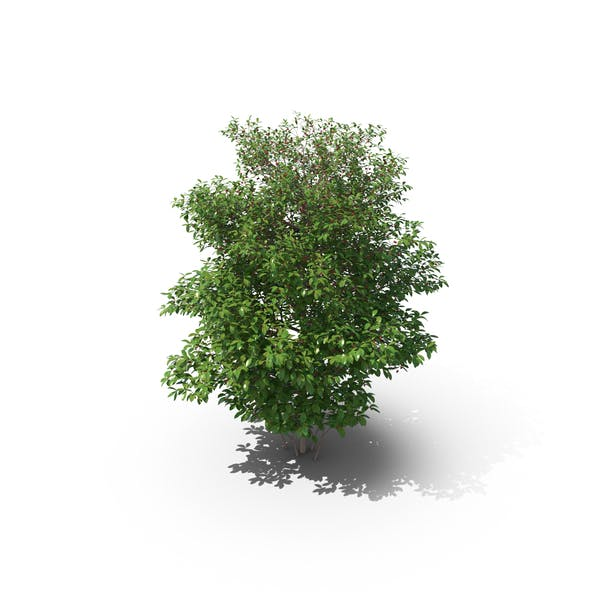 Thumbnail for Sour Cherry Tree