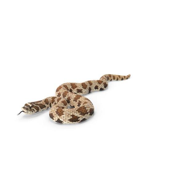 Brown Hognose Snake Coiled Pose