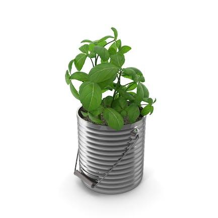 Basiliuspflanze