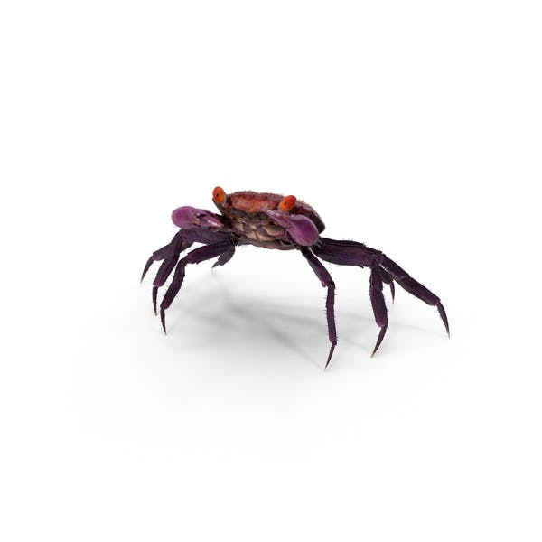 Purple Vampire Crab