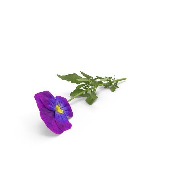 Cover Image for Pansy
