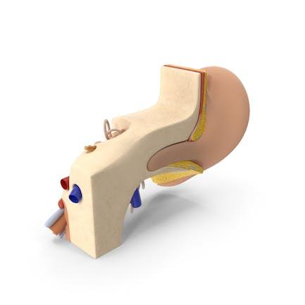 Estructura de anatomía del oído humano