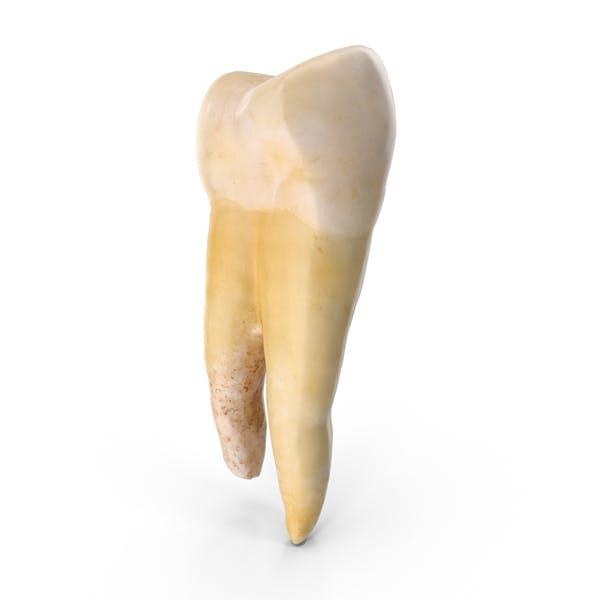 Thumbnail for Molar Lower Jaw Left