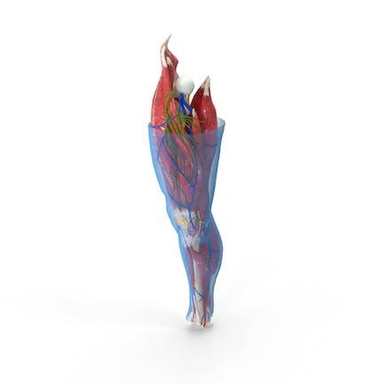 Anatomía humana de la rodilla