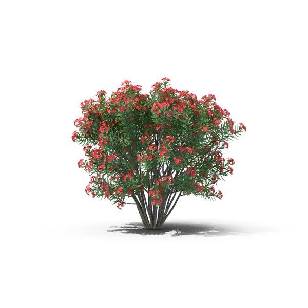Cover Image for Oleander