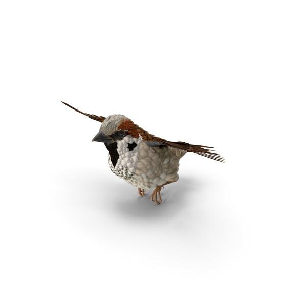 Haus Sparrow Fliegende Pose