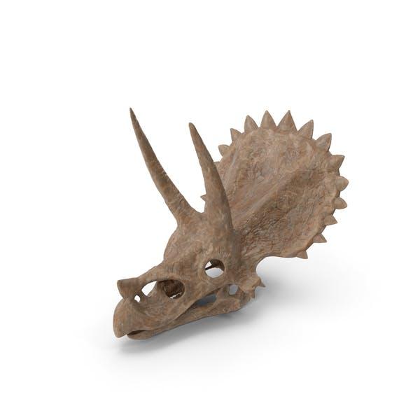 Thumbnail for Triceratops Skull Fossil