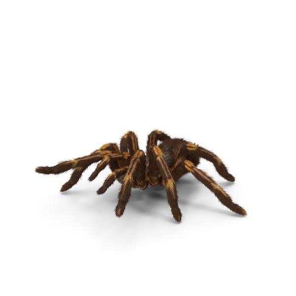 Tarantula Yellow Attack Pose