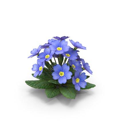 Primula Vulgaris Azul