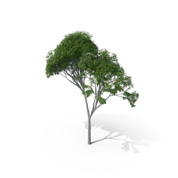 Леопардовое дерево Морадо