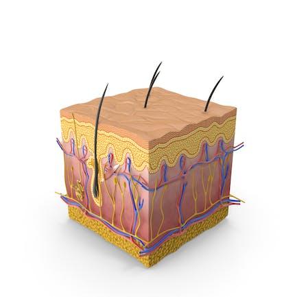 Sección de piel