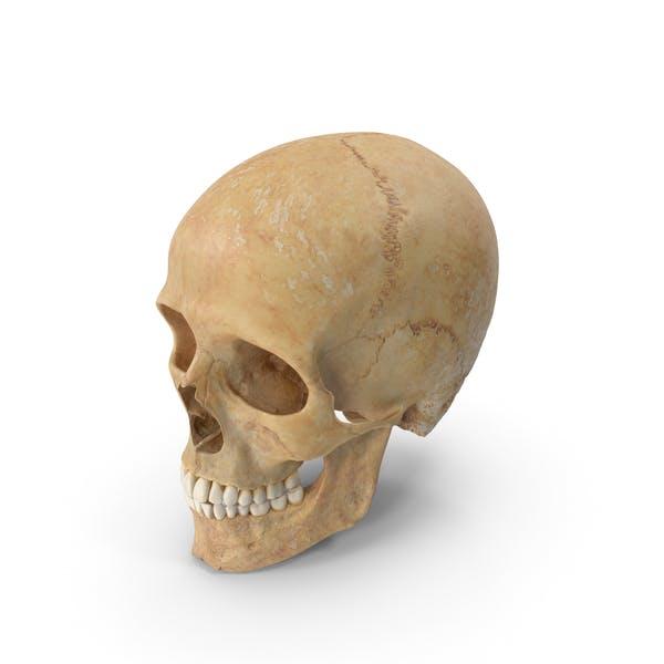 Череп человека (черепный) 01 с зубами