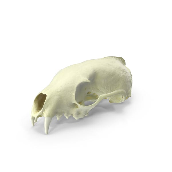 Thumbnail for White Breasted Marten Skull