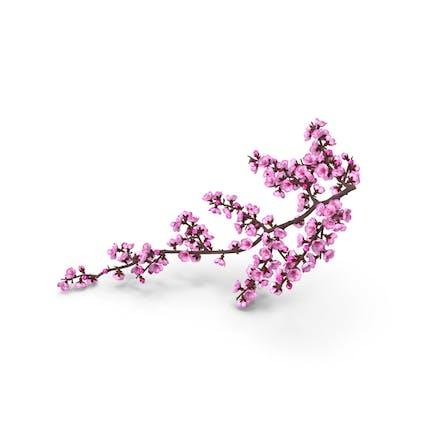 Sakura-Zweig mit Blütenknosp