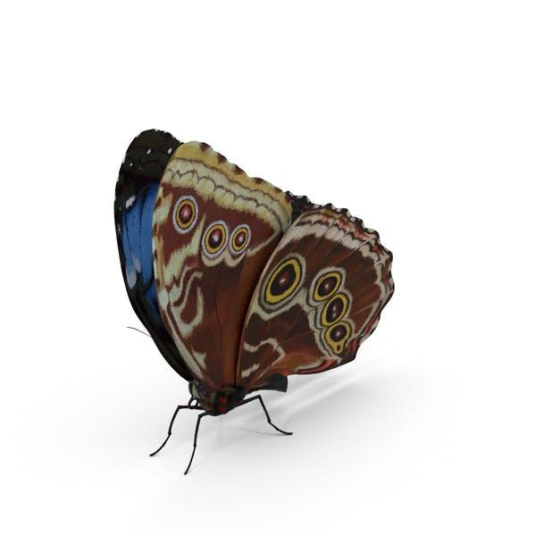 Blauer Morpho Schmetterling