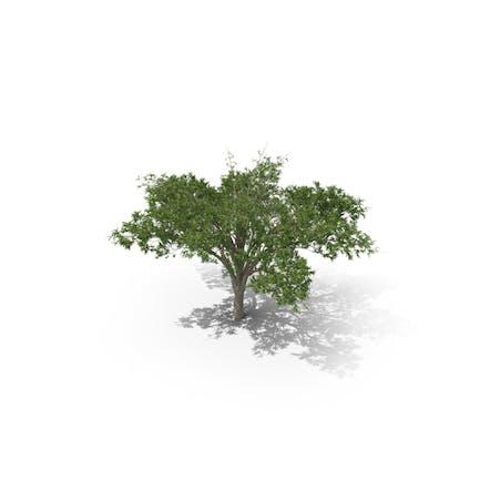 Regenschirm Dorn Akazienbaum