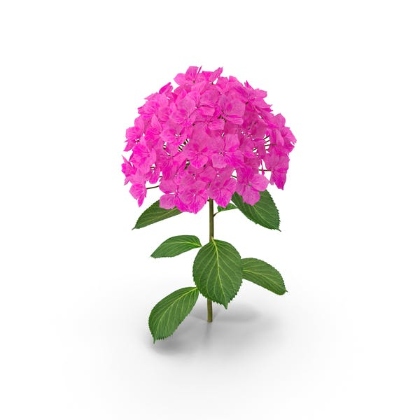 Thumbnail for Branch of Hydrangea Macrophylla Pink Annabelle