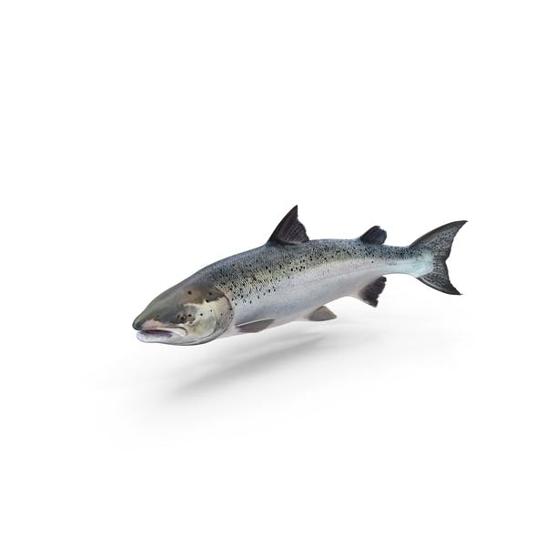 Thumbnail for Atlantic Salmon Fish
