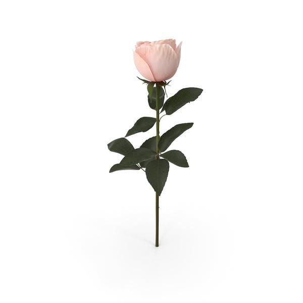 Thumbnail for Garden Rose
