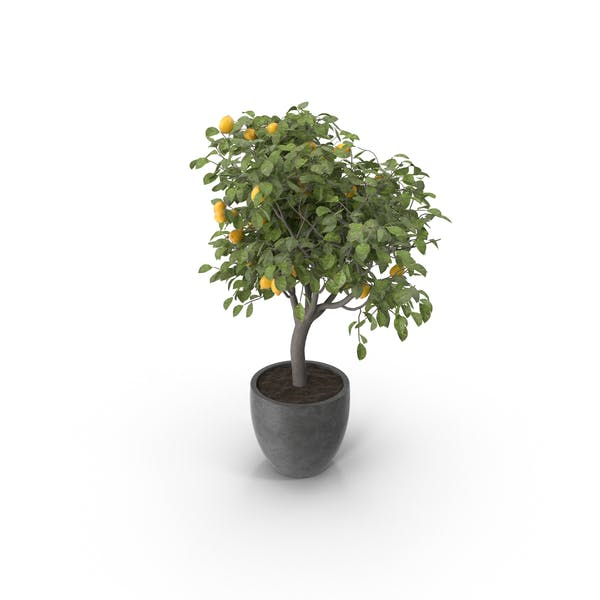 Cover Image for Potted Lemon Tree