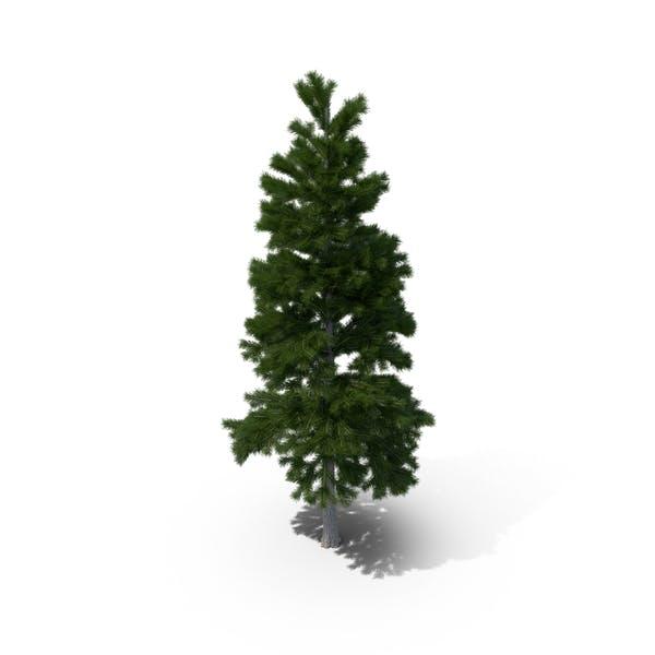 Thumbnail for Pine