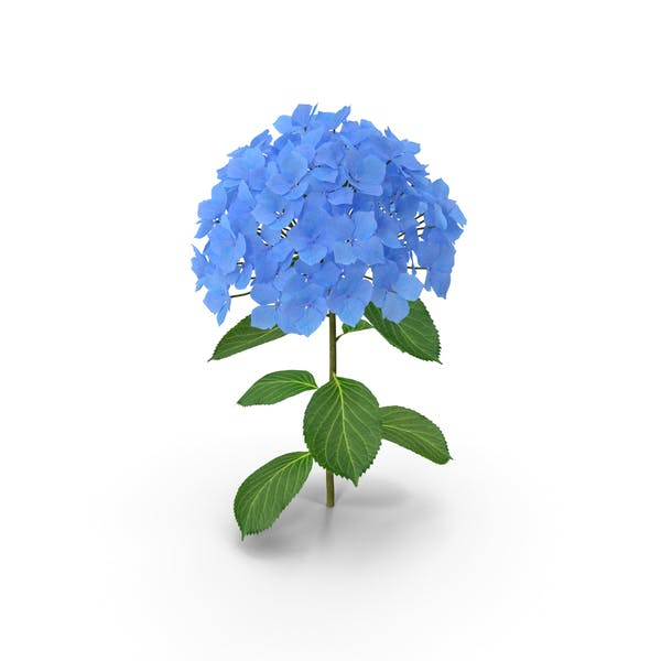 Thumbnail for Branch of Hydrangea Macrophylla Nikko Blue