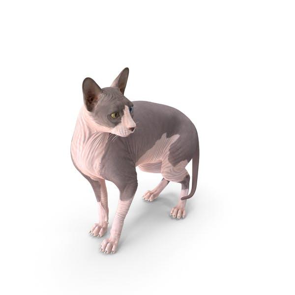 Bicolor Sphynx Cat