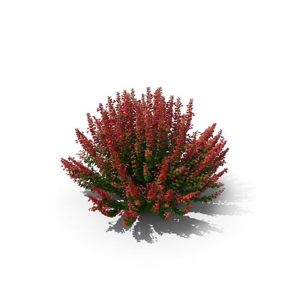 Barberry Bush With Red