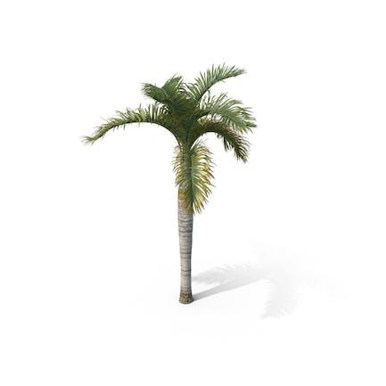 Palm Tree Hyophorbe Lagenicaulis