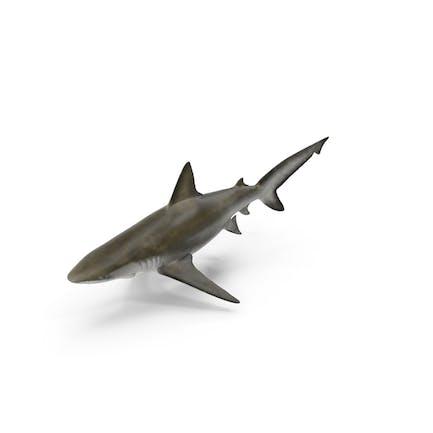 Tiburón Bignose