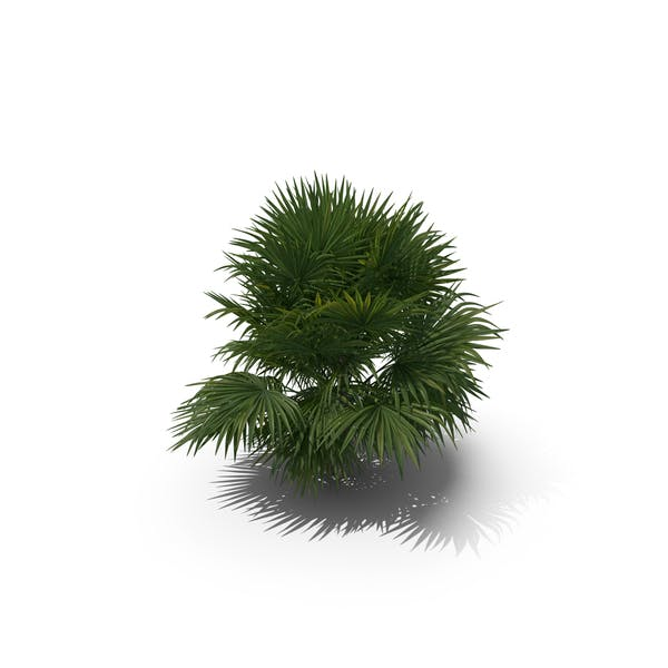 Пальма Chuniophoenix Хайнансис