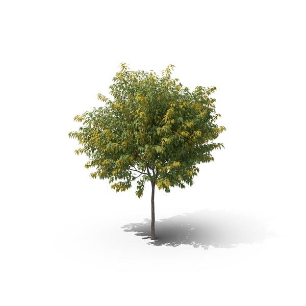 Thumbnail for Кленовое дерево