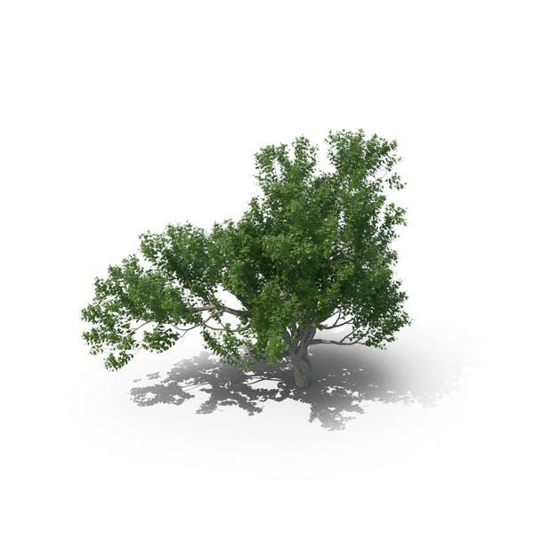 Thumbnail for Avicennia Tree