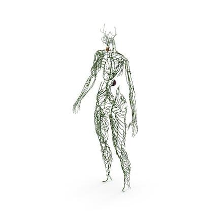 Anatomía del sistema linfático femenino