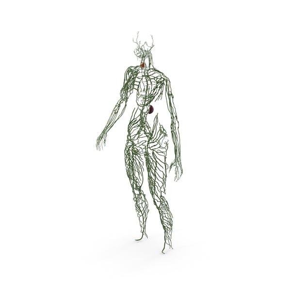 Анатомия женской лимфатической системы