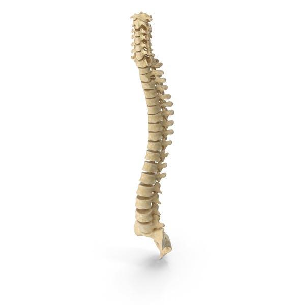 Анатомия костей позвоночника человека
