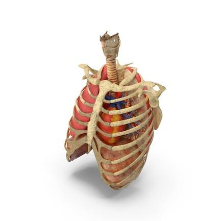 Rippen Trachea Herz Lungen