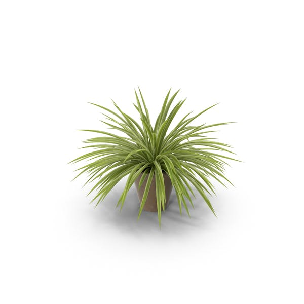 Cover Image for Spider Plant