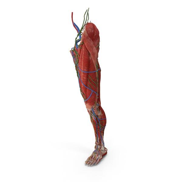 Мужская нога Полная анатомия