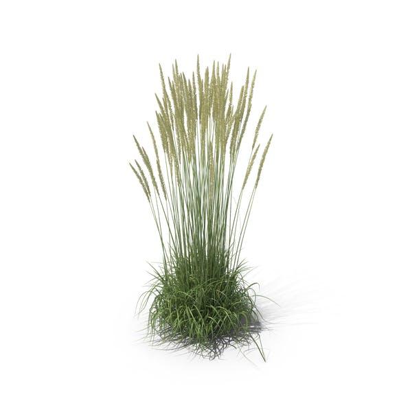 Thumbnail for Calamagrostis X Acutiflora 'Karl Foerster' Grass Set
