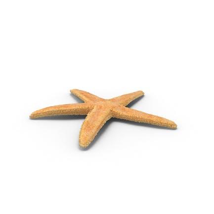 Dried Flat Starfish