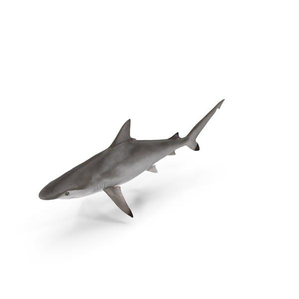 Thumbnail for Spottail Shark