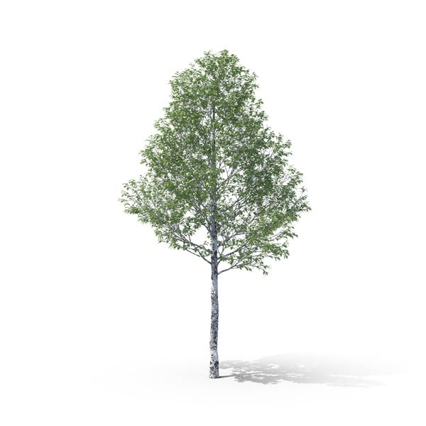 Cover Image for Silver Poplar