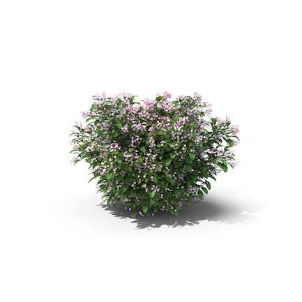 Madagaskar Immergrün