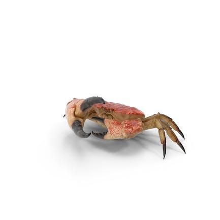 Cangrejo Reina
