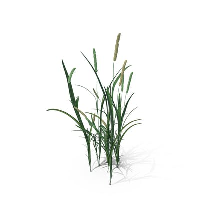 Timothy-Gras (Phleum Pratense)