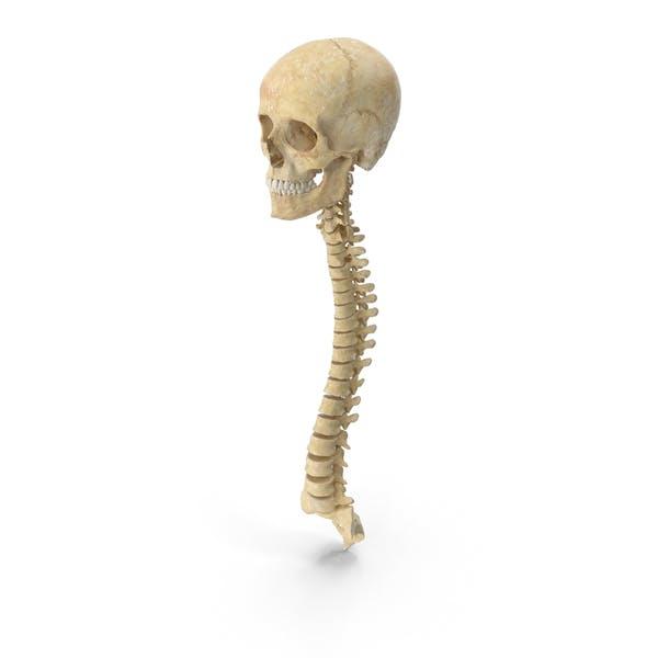 Кости позвоночника человека Женский череп и челюсть Анатомия