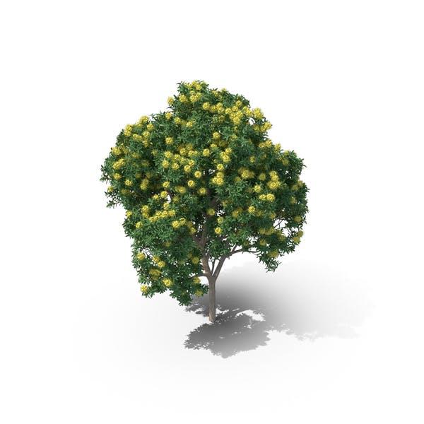 Cover Image for Golden Penda Tree