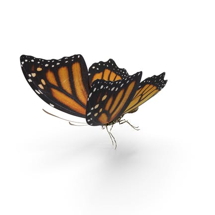Schmetterling-Tiger-Monar